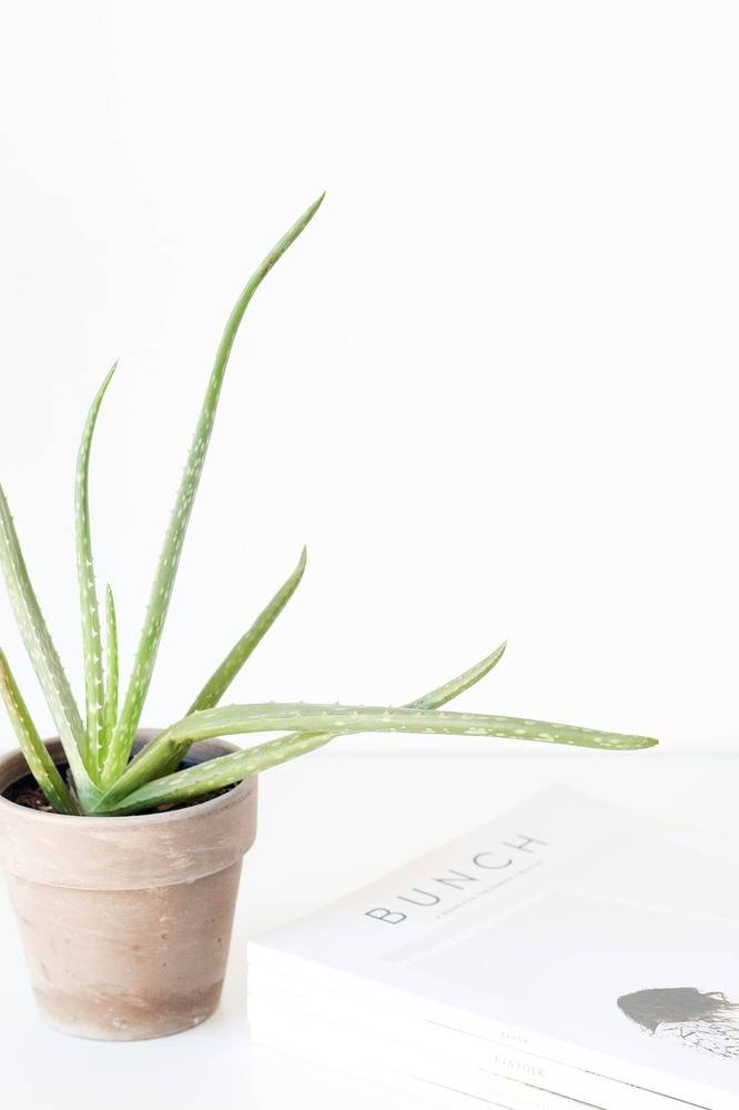 Aloe Vera-planten er god for dit indeklima